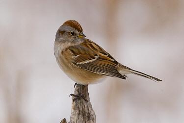 American Tree Sparrow (Spizella arborea), Kensington Metropark, Michigan  -  Steve Gettle