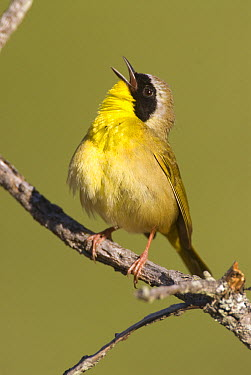 Common Yellowthroat (Geothlypis trichas) male calling, Huron Meadows Metropark, Michigan  -  Steve Gettle
