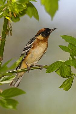 Bay-breasted Warbler (Setophaga castanea) male, Crane Creek State Park, Ohio  -  Steve Gettle