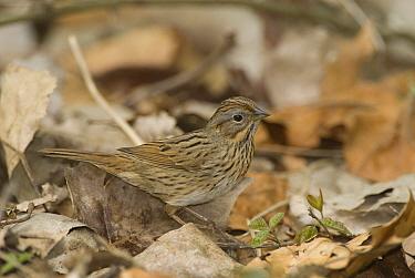 Lincoln's Sparrow (Melospiza lincolnii), Crane Creek State Park, Ohio  -  Steve Gettle