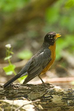American Robin (Turdus migratorius), Crane Creek State Park, Ohio  -  Steve Gettle