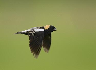 Bobolink (Dolichonyx oryzivorus) male flying, J. Clark Salyer National Wildlife Refuge, North Dakota  -  Steve Gettle