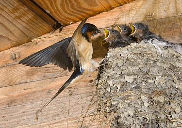 Barn Swallow (Hirundo Rustica) feeding, Michigan  -  Steve Gettle