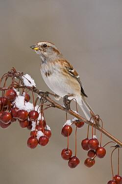 American Tree Sparrow (Spizella arborea), Huron Meadows Metropark, Michigan  -  Steve Gettle