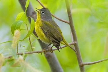 Nashville Warbler (Oreothlypis ruficapilla) calling, Crane Creek State Park, Ohio  -  Steve Gettle