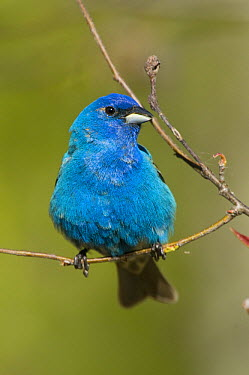 Indigo Bunting (Passerina cyanea) male, Rifle River Recreation Area, Michigan  -  Steve Gettle