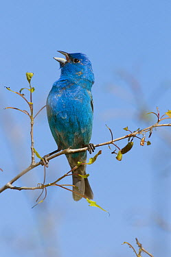 Indigo Bunting (Passerina cyanea) male calling, Rifle River Recreation Area, Michigan  -  Steve Gettle