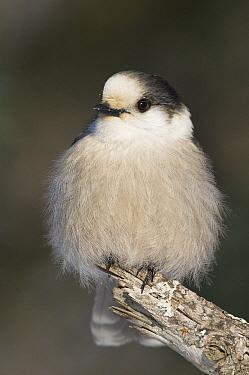 Canada Jay (Perisoreus canadensis), Sax-Zim Bog, Minnesota  -  Steve Gettle