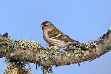 Common Redpoll (Carduelis flammea) male, Sax-Zim Bog, Minnesota  -  Steve Gettle