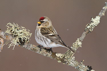 Common Redpoll (Carduelis flammea) female, Sax-Zim Bog, Minnesota  -  Steve Gettle