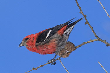 White-winged Crossbill (Loxia leucoptera) male, Michigan  -  Steve Gettle