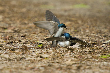 Tree Swallow (Tachycineta bicolor) males fighting to mate with female, Crane Creek State Park, Ohio  -  Steve Gettle