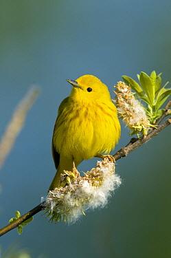 Yellow Warbler (Setophaga petechia) male, Crane Creek State Park, Ohio  -  Steve Gettle