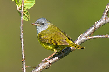 Mourning Warbler (Geothlypis philadelphia), Rifle River Recreation Area, Michigan  -  Steve Gettle