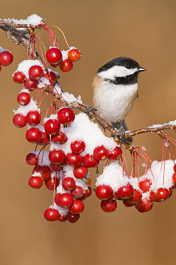 Black-capped Chickadee (Poecile atricapillus), Kellogg Bird Sanctuary, Michigan  -  Steve Gettle