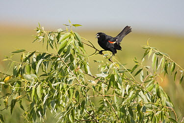 Red-winged Blackbird (Agelaius phoeniceus) male calling, South Dakota  -  Sebastian Kennerknecht