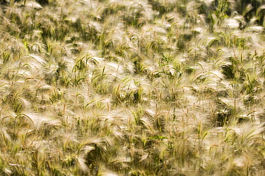 Barley (Hordeum sp) field, South Dakota  -  Sebastian Kennerknecht