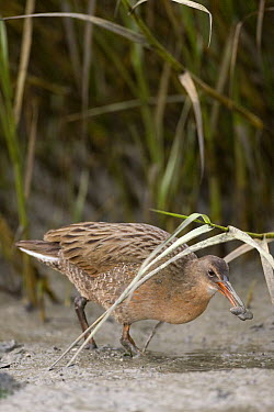 California Clapper Rail (Rallus longirostris obsoletus) feeding on mussel in tidal channel at low tide, Martin Luther King Jr. Regional Shoreline, California  -  Sebastian Kennerknecht