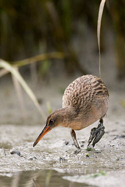 California Clapper Rail (Rallus longirostris obsoletus) foraging in tidal mudflat at low tide, Martin Luther King Jr. Regional Shoreline, California  -  Sebastian Kennerknecht