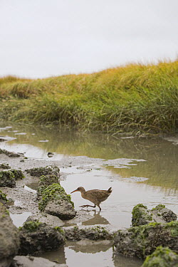 California Clapper Rail (Rallus longirostris obsoletus) crossing tidal channel in marsh, Martin Luther King Jr. Regional Shoreline, California  -  Sebastian Kennerknecht
