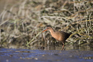 California Clapper Rail (Rallus longirostris obsoletus) in tidal channel at low tide, Martin Luther King Jr. Regional Shoreline, California  -  Sebastian Kennerknecht
