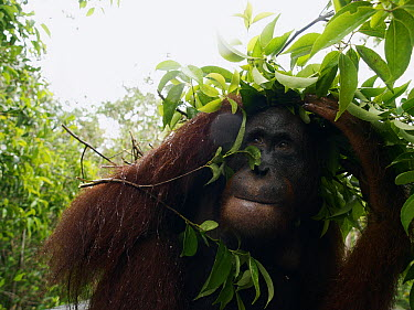 Orangutan (Pongo pygmaeus) using branches to shelter from rain, Borneo, Malaysia  -  Mitsuaki Iwago