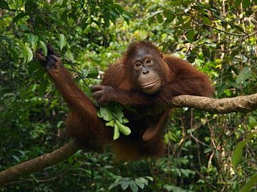 Orangutan (Pongo pygmaeus) resting in tree, Borneo, Malaysia  -  Mitsuaki Iwago
