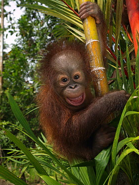 Orangutan (Pongo pygmaeus) young smiling while clinging to bamboo, Borneo, Malaysia  -  Mitsuaki Iwago