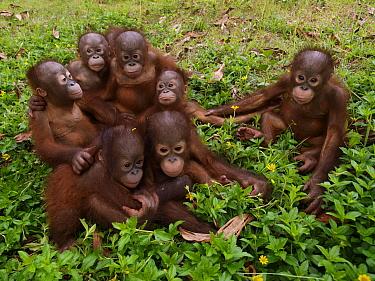 Orangutan (Pongo pygmaeus) orphans, Borneo, Malaysia  -  Mitsuaki Iwago