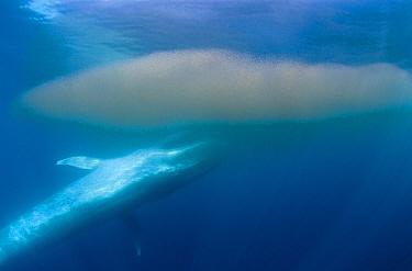 Blue Whale (Balaenoptera musculus) feeding on krill, Coronado Islands, Baja California, Mexico  -  Richard Herrmann