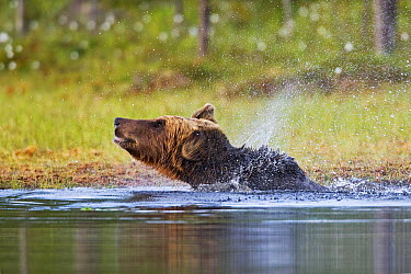 Brown Bear (Ursus arctos) shaking its fur in pond, northeast Finland  -  Winfried Wisniewski