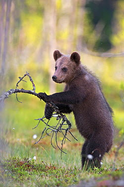Brown Bear (Ursus arctos) cub leaning on branch, northeast Finland  -  Winfried Wisniewski