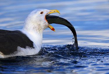 Great Black-backed Gull (Larus marinus) swallowing large fish, Norway  -  Winfried Wisniewski