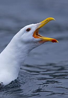 Great Black-backed Gull (Larus marinus) calling, Norway  -  Winfried Wisniewski