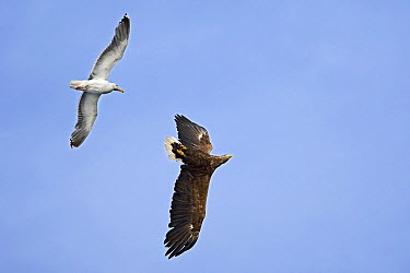 Great Black-backed Gull (Larus marinus) attacking flying White-tailed Eagle (Haliaeetus albicilla), Norway  -  Winfried Wisniewski