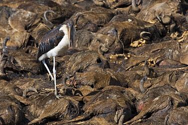 Marabou Stork (Leptoptilos crumeniferus) walking over Blue Wildebeest (Connochaetes taurinus) carcasses, Africa  -  Winfried Wisniewski