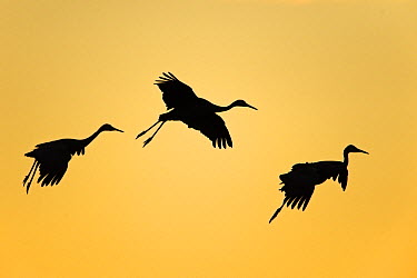 Sandhill Crane (Grus canadensis) trio flying, Bosque del Apache National Wildlife Refuge, New Mexico  -  Winfried Wisniewski