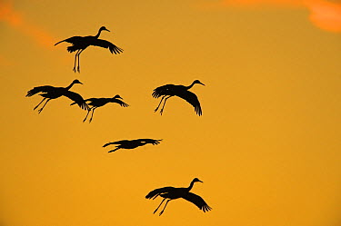 Sandhill Crane (Grus canadensis) flock flying, Bosque del Apache National Wildlife Refuge, New Mexico  -  Winfried Wisniewski