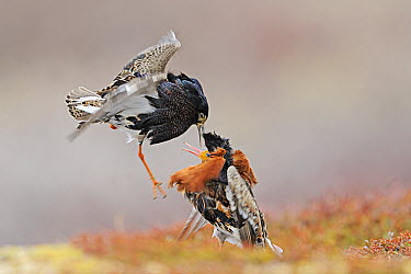 Ruff (Philomachus pugnax) males fighting at lek, Varanger, Norway  -  Winfried Wisniewski