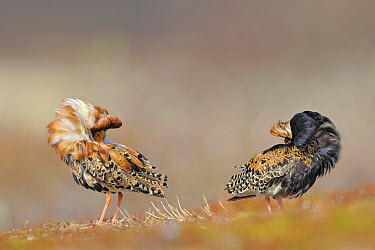 Ruff (Philomachus pugnax) males displaying at lek, Varanger, Norway  -  Winfried Wisniewski