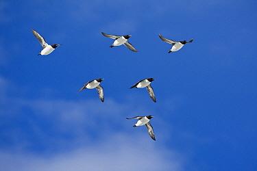 Brunnich's Guillemot (Uria lomvia) flock flying, Svalbard, Norway  -  Otto Plantema/ Buiten-beeld