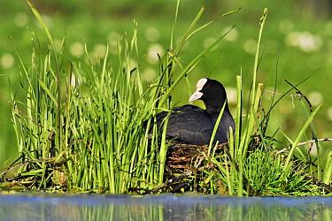 Coot (Fulica atra) on nest, Vlaardingen, Zuid-Holland, Netherlands  -  Jasper Doest