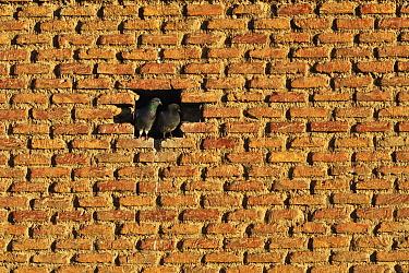 Rock Dove (Columba livia) pair in wall opening, Alfaro, Spain  -  Jasper Doest