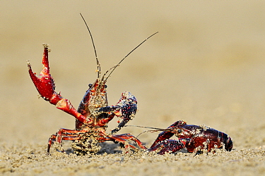 Striped Crayfish (Orconectes limosus) in defensive posture, Donana National Park, Seville, Andalusia, Spain  -  Jasper Doest