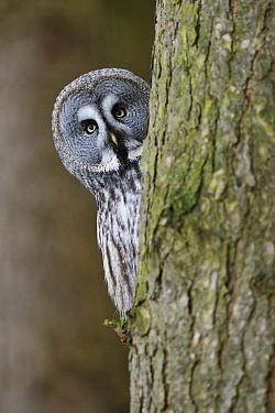Great Gray Owl (Strix nebulosa) peeking around tree, England  -  Jasper Doest