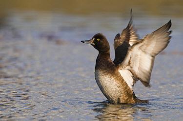 Tufted Duck (Aythya fuligula) female flapping wings, Leeuwarden, Friesland, Netherlands  -  Marcel van Kammen/ NiS