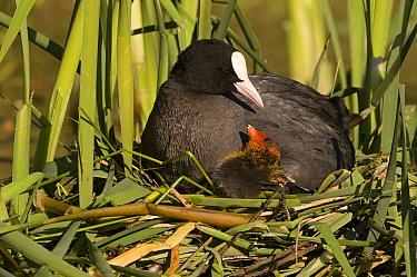 Coot (Fulica atra) parent with chick on nest, Leeuwarden, Friesland, Netherlands  -  Marcel van Kammen/ NiS