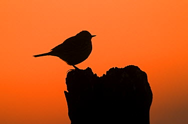 Meadow Pipit (Anthus pratensis) at sunset, Earnewald, Friesland, Netherlands  -  Marcel van Kammen/ NiS