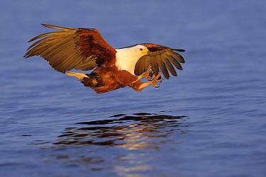 African Fish Eagle (Haliaeetus vocifer) hunting, Chobe National Park, Botswana  -  Winfried Wisniewski