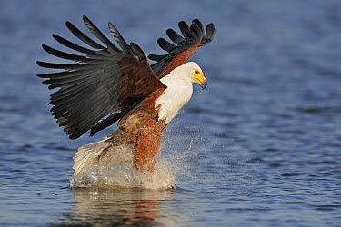 African Fish Eagle (Haliaeetus vocifer) striking at fish, Chobe National Park, Botswana  -  Winfried Wisniewski